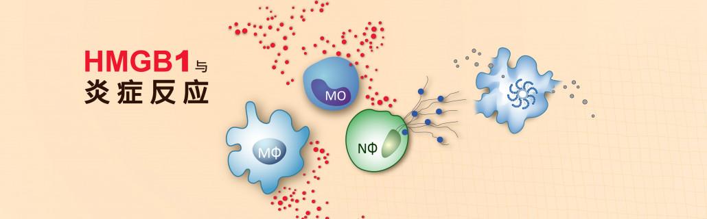 hmgb1 与炎症反应